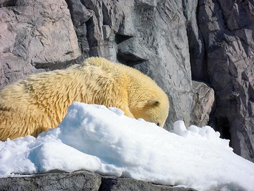ホッキョクグマ、旭山動物園 4の高画質画像