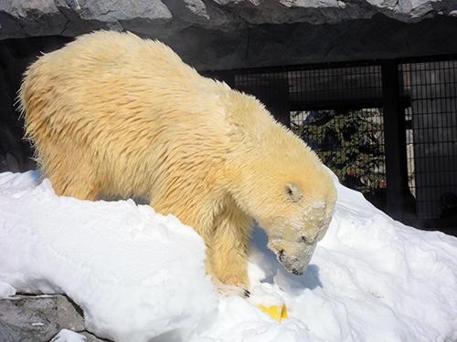 ホッキョクグマ、旭山動物園 5の高画質画像
