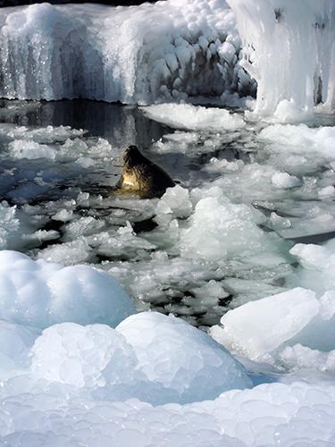 アザラシ、旭山動物園 1の高画質画像