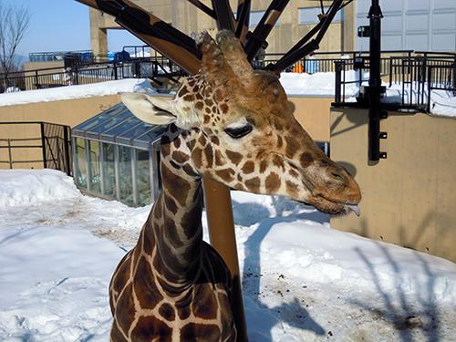 キリン、旭山動物園 6の高画質画像