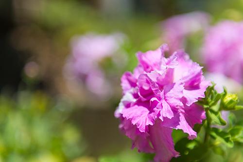 お庭の紫の花の高画質画像